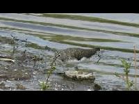 Witgat - Tringa ochropus