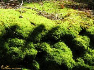 Gerimpeld kronkelbladmos - Tortella tortuosa
