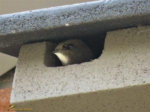 Gierzwaluw - Apus apus