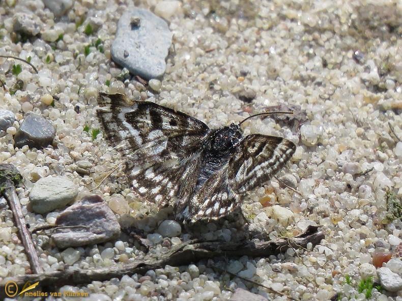 Mi-vlinder - Euclidia mi (