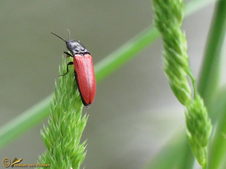 Vermiljoenrode kniptor - Ampedus cinnabarinus