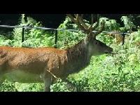 Edelhert – Cervus elaphus (F18)
