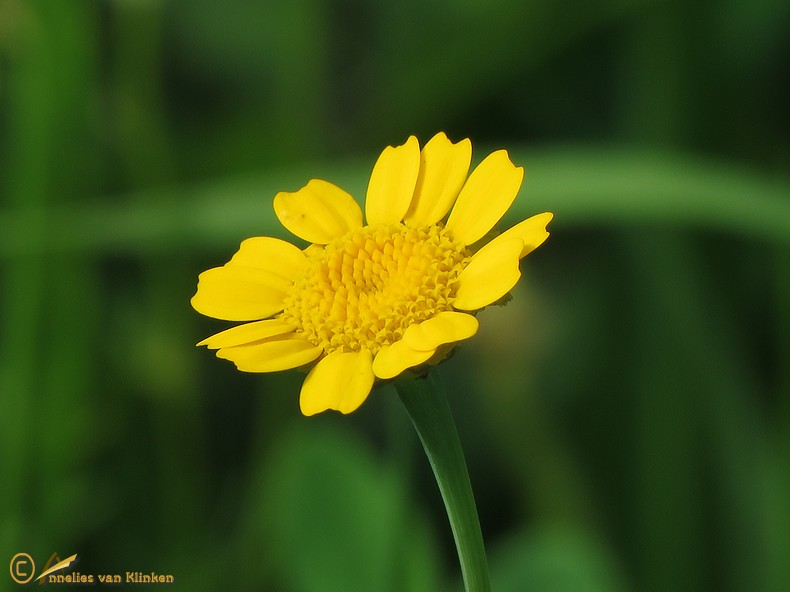 Gele ganzenbloem - Glebionis segetum