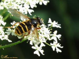 Gele veenzweefvlieg - Sericomyia silentis