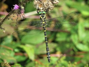 Gewone bronlibel - Cordulegaster boltonii