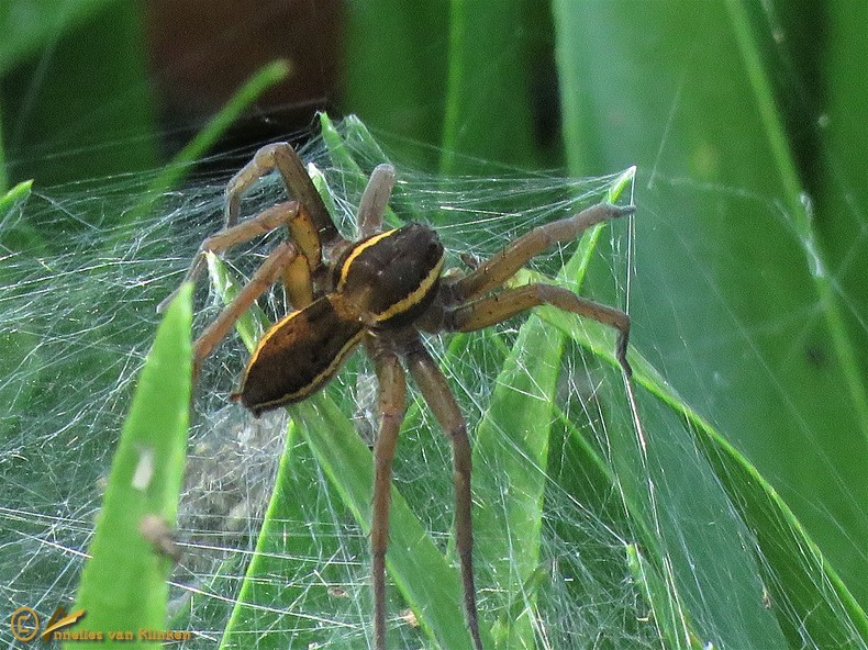 Grote oeverspin - Dolomedes plantarius