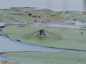 Sierlijke witsnuitlibel - Leucorrhinia caudalis