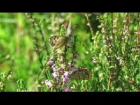 Bruine vuurvlinder – Lycaena tityrus