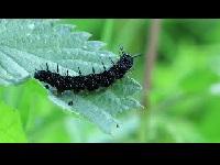 Dagpauwoog - Aglais io (rups)