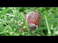 Gewone meikever - Melolontha melolontha (F1)