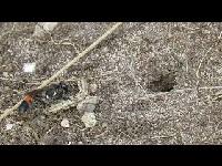 Grote rupsendoder - Ammophila sabulosa