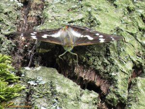 Grote weerschijnvlinder - Apatura iris