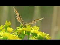 Kleine parelmoervlinder – Issoria lathonia (F1)