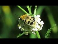 Penseelkever (fasciatus) – Trichius fasciatus (F1)