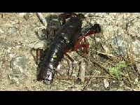Rode Amerikaanse rivierkreeft - Procambarus clarkii