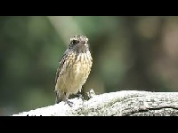 Roodborsttapuit – Saxicola rubicola (Filmpje 5)