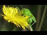 Sikkelsprinkhaan – Phaneroptera falcata