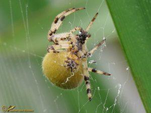 Viervlekwielwebspin - Araneus quadratus ♀️