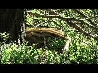 Wild Zwijn – Sus scrofa (F13)