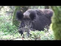 Wild Zwijn – Sus scrofa (Filmpje 13)