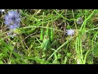 Wrattenbijter - Decticus verrucivorus
