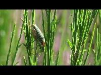 Zadelsprinkhaan – Ephippiger diurnus