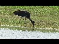 Zwarte Ooievaar - Ciconia nigra