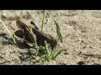 Blauwvleugelsprinkhaan – Oedipoda caerulescens