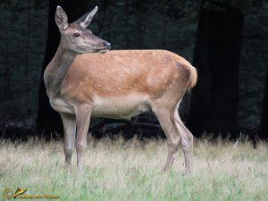Edelhert - Cervus elaphus