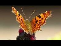 Gehakkelde aurelia – Polygonia c album