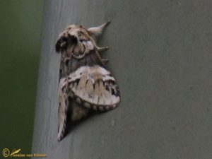 Gestreepte tandvlinder - Drymonia dodonaea