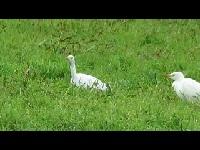 Koereiger – Bubulcus ibis