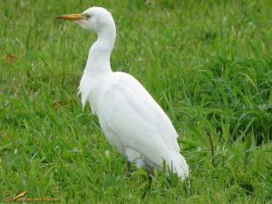 Koereiger - Bubulcus ibis