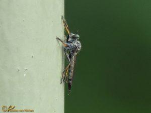 Zwartdijroofvlieg - Neomochtherus geniculatus